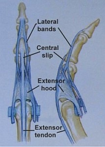 a strap of tissue (extensor retinaculum) passes across the pack of the  wrist to hold the extensor tendons in place  a lubricating tissue (  synovium)