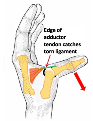 Ligaments of the thumb anatomy