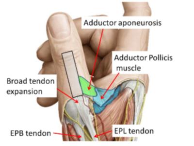 02. Skiers Thumb Anatomy
